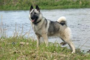Norwegian Elkhound 1