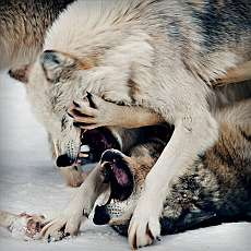 wolf fight small