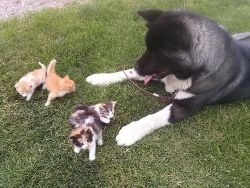 akita little cats small