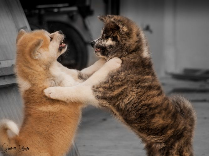 Akita puppies playing